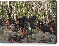 White-faced Ibis  Acrylic Print by Jill Bell