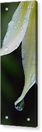 White Fawn Lily Erythronium Oregonum Acrylic Print by Panoramic Images