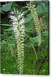 White Fern Acrylic Print by Aimee L Maher Photography and Art Visit ALMGallerydotcom