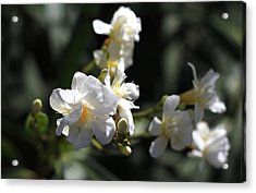 Acrylic Print featuring the photograph White Flower - Early Spring Time by Ramabhadran Thirupattur