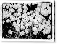 Acrylic Print featuring the photograph White Flowers  by Craig Perry-Ollila