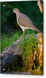 White-fronted Dove Acrylic Print