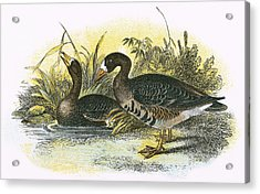 White Fronted Goose Acrylic Print by English School