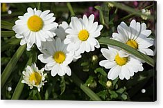 White Gerbera Daisy Acrylic Print by Priyanka Ravi