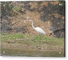 Acrylic Print featuring the photograph White Heron by Eric Switzer
