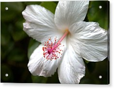 White Hibiscus Acrylic Print by Brian Harig