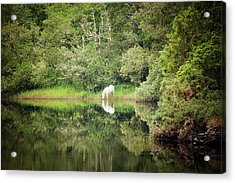 White Horse Drinking Water Acrylic Print by Peter McCabe