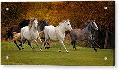 White Horse Vale Lipizzans Acrylic Print
