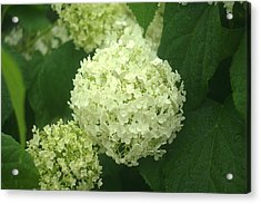 Acrylic Print featuring the photograph White Hydrangea Blossoms by Suzanne Powers