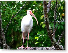Acrylic Print featuring the photograph White Ibis by Debra Forand