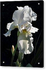 White Iris In The Morning Acrylic Print