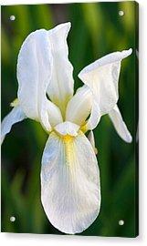 White Iris Acrylic Print by Joan Bertucci