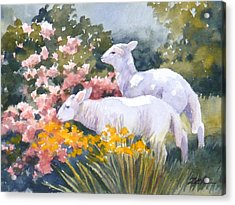 White Lambs In Scotland Acrylic Print