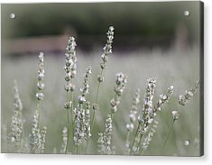 Acrylic Print featuring the photograph White Lavender by Lynn Sprowl