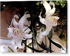 White Oriental Lilium  Acrylic Print