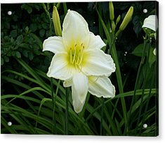 White Lily Acrylic Print by Catherine Gagne
