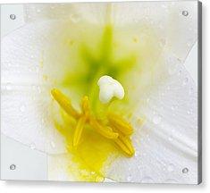 White Lily Closeup Acrylic Print