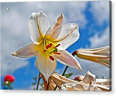 White Lily Flower Against Blue Sky Art Prints Acrylic Print