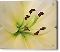 White Lily Pp-6 Acrylic Print