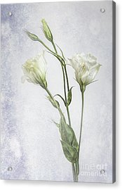 White Lisianthus Flowers Acrylic Print by Shirley Mangini