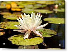 White Lotus Flower In Lily Pond Acrylic Print by Susan Schmitz