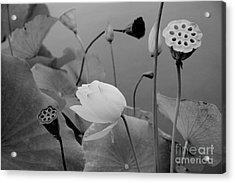 White Lotus Flowers In Balboa Park San Diego Acrylic Print by Julia Hiebaum