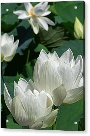 White Lotus Acrylic Print by Larry Knipfing