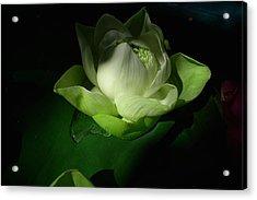 White Lotus Unfolding Acrylic Print