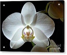 White Moon Orchid Acrylic Print by Kathi Mirto
