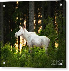 Acrylic Print featuring the photograph White Moose In Sunset by Rose-Maries Pictures