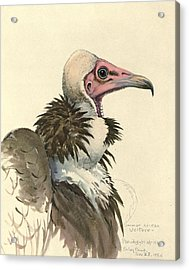 White Necked Vulture Acrylic Print