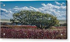 White Oak In Chilmark Acrylic Print
