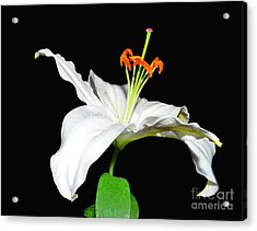 White On Black Acrylic Print by Lula Adams