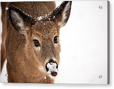 White On The Nose Acrylic Print