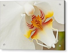 White Orchid 2 Acrylic Print
