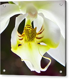 White Orchid Close 2 Acrylic Print by Timothy Blair