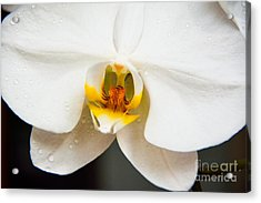 White Orchid Acrylic Print by Lisa L Silva