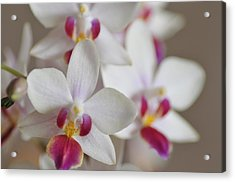White Orchid With Purple Acrylic Print