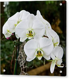 White Orchids 2 Acrylic Print by Timothy Blair