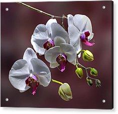 White Orchids Acrylic Print by Bob Mulligan