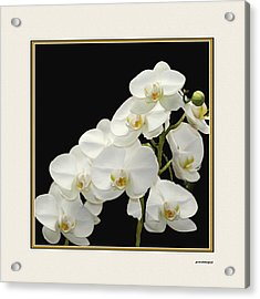 White Orchids II Acrylic Print by Tom Prendergast