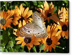 Acrylic Print featuring the photograph White Peacock Butterfly by Cindy McDaniel