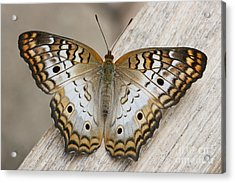 White Peacock Butterfly Acrylic Print by Judy Whitton
