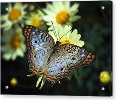 White Peacock Butterfly On A Daisy Acrylic Print by Saija  Lehtonen