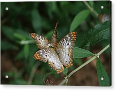 Acrylic Print featuring the photograph White Peacock Butterflies by Cathy Harper