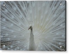 White Peacock Acrylic Print by T C Brown