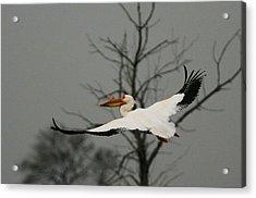 White Pelican Flight Acrylic Print
