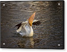 Acrylic Print featuring the photograph White Pelican by Sharon Jones