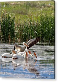 White Pelicans At Cherry River Acrylic Print by Gina Gahagan