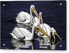 White Pelicans Fishing Acrylic Print by Fran Gallogly